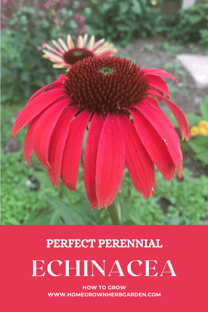 Echinacea pin for Pinterest