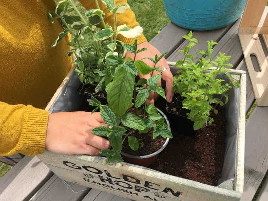 hands arranging mit plants with green leaves in pots ready for an indoors display