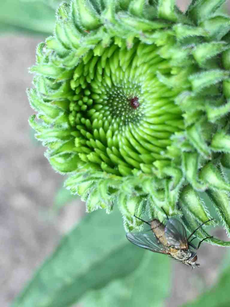 echinacea flower bud with insect