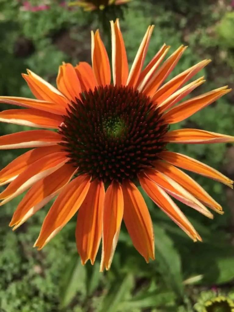 orange echinacea cone flower