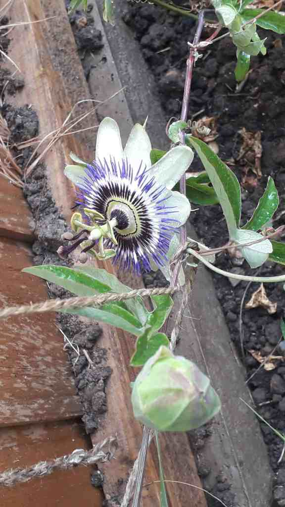 young passion flower plant