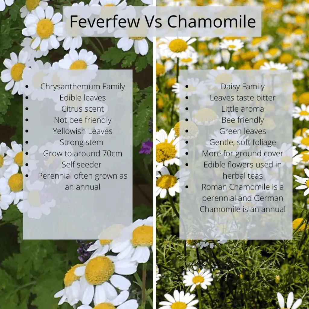 feverfew vs chamomile