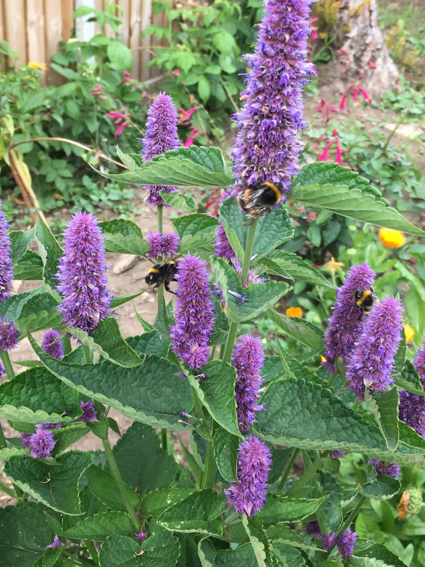 bees on a purple hyssop flower
