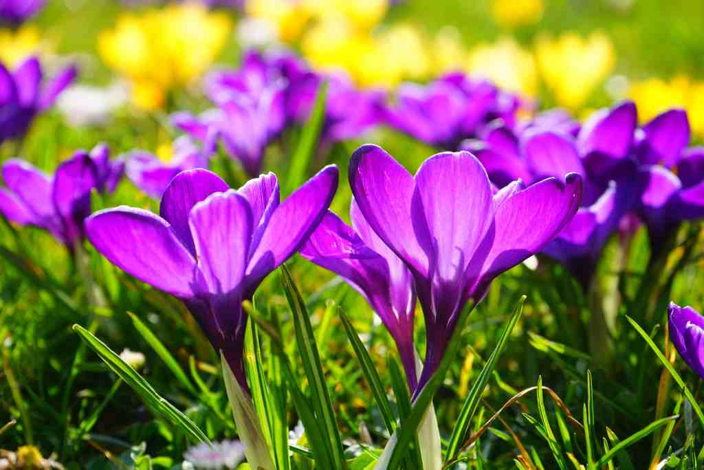 saffron crocus is pretty and easy to look after