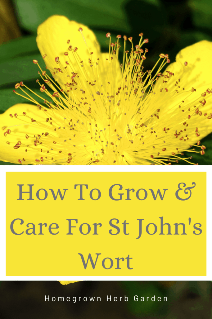 st johns wort pinterest
