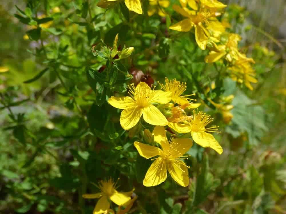 St John's Wort is such a vibrant yellow star of a flower