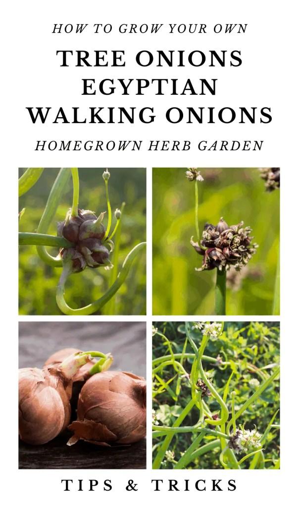 Tree Onions Egyptian Walking onions how to grow.