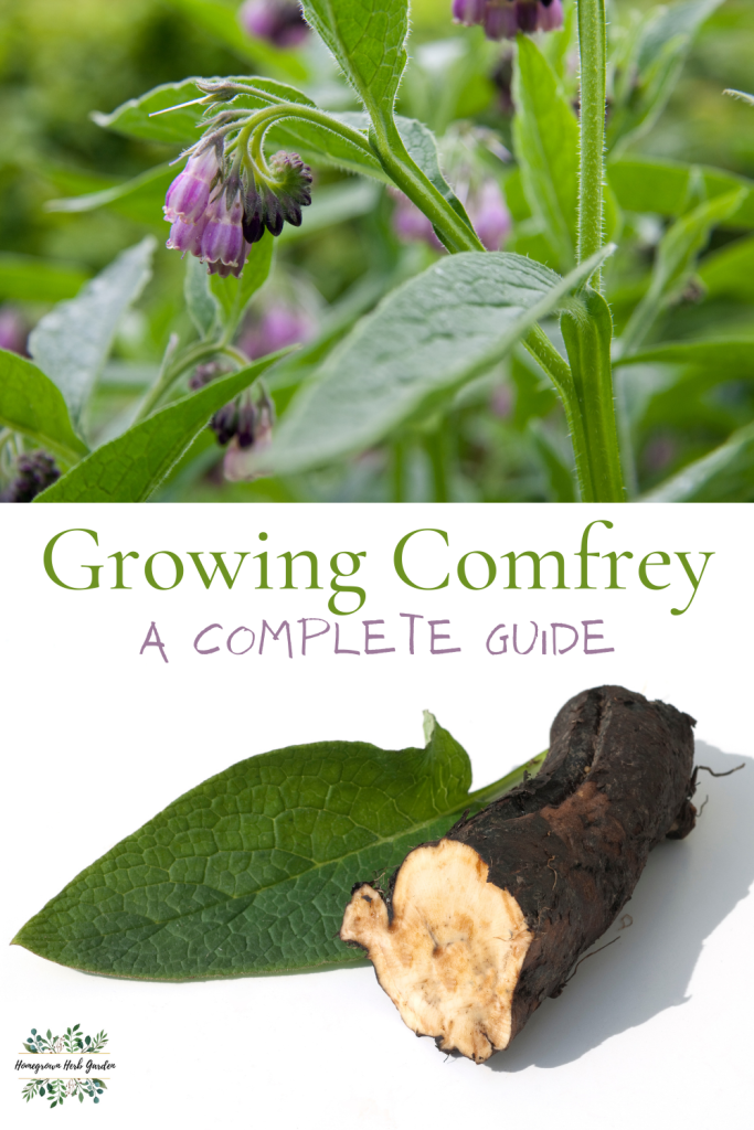 growing comfrey from seed