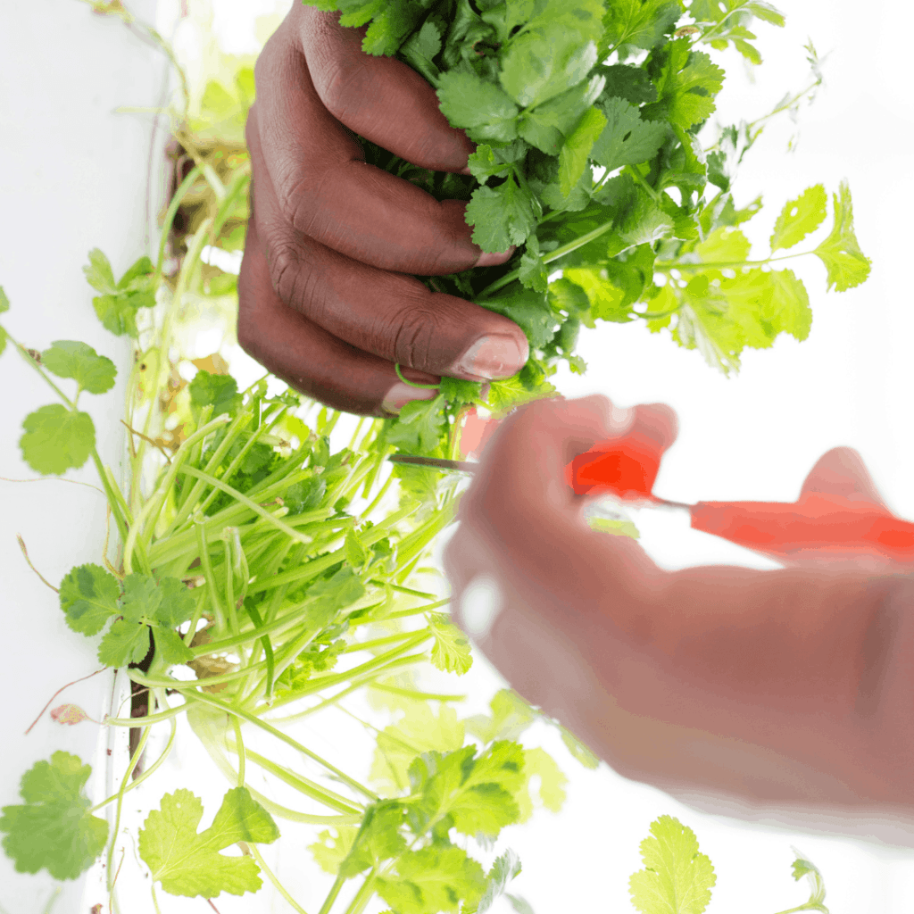 home hydroponic systems work well for herbs
