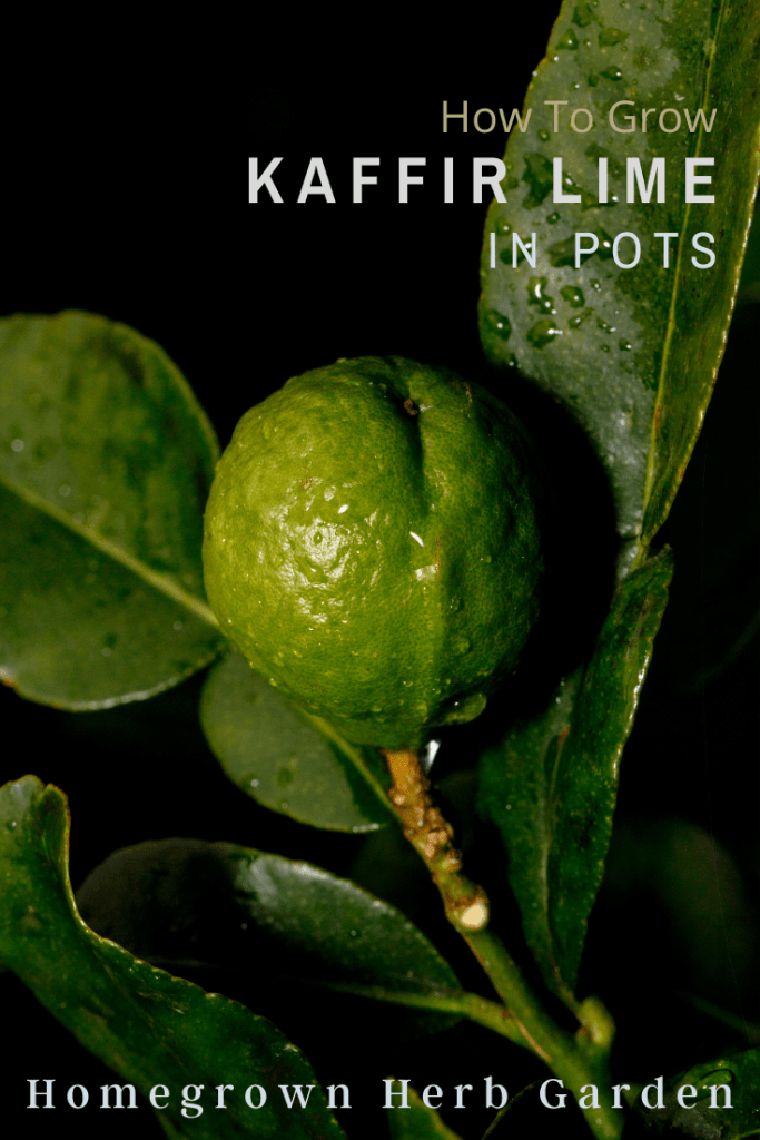kaffir lime leaves and fruit