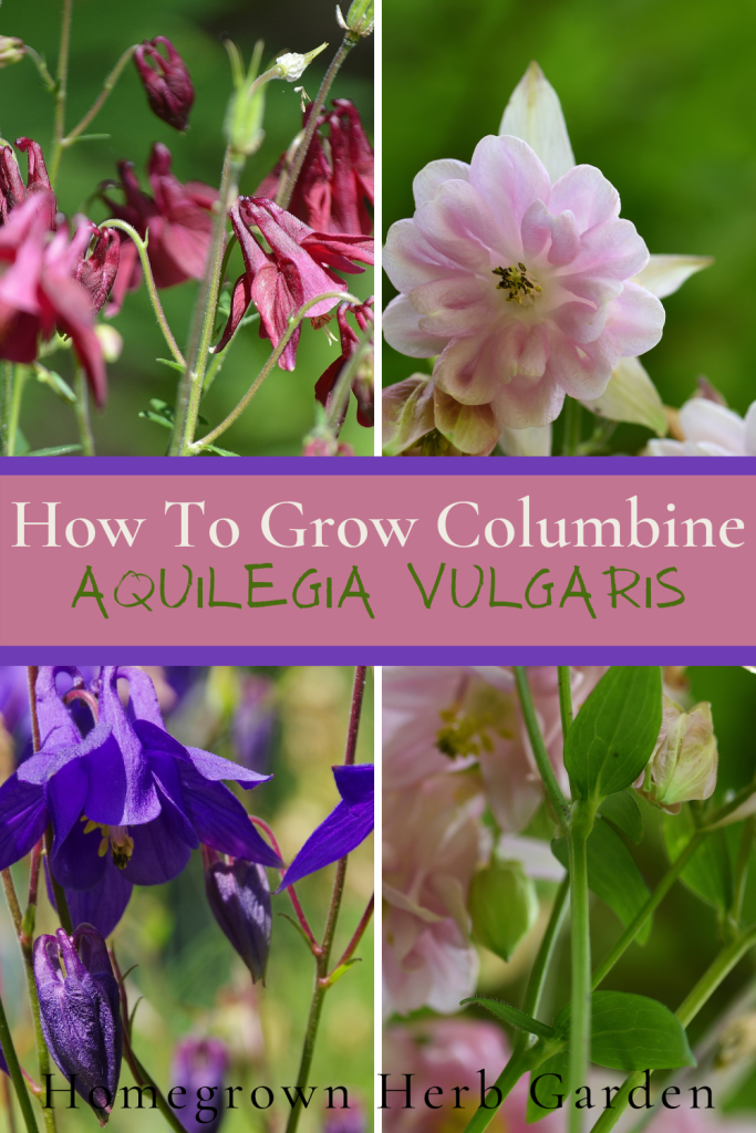 How to grow aquilegia