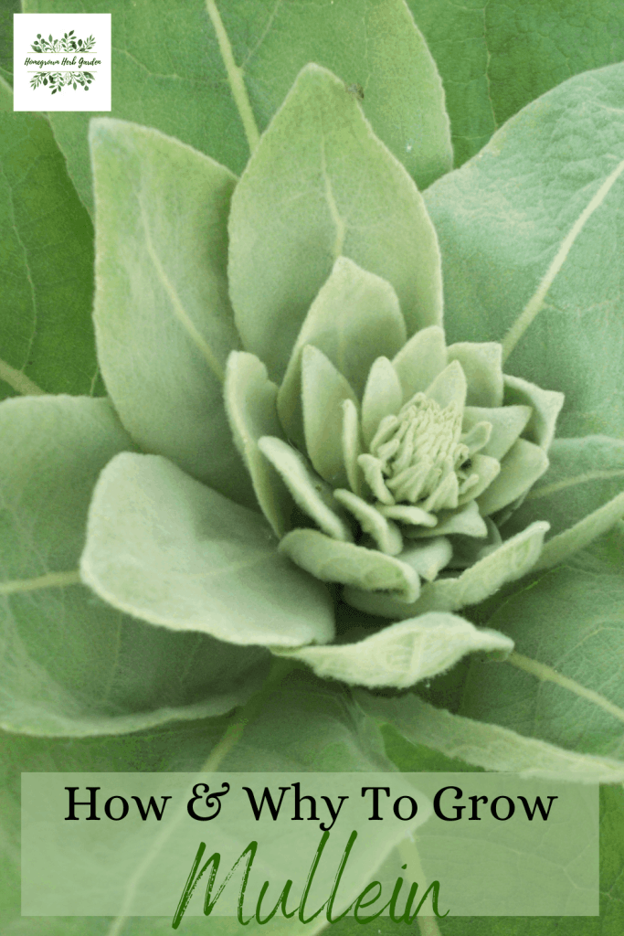 how to grow mullein