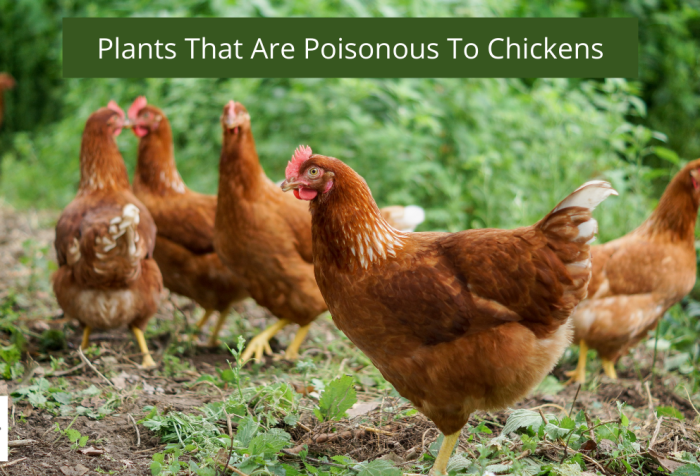 poisonous to chickens