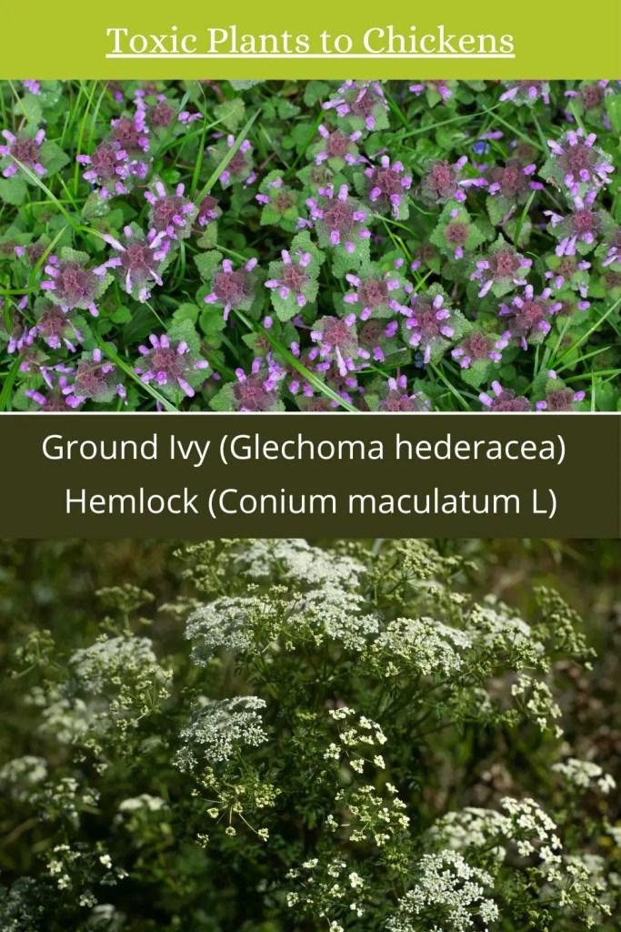 poisonous plants to livestock