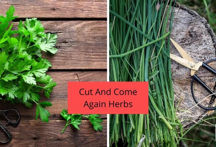 herbs that regrow