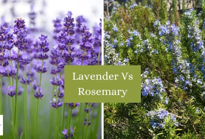 lavender vs rosemary