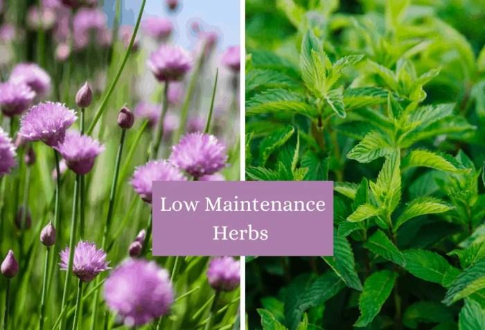 low maintenance herbs