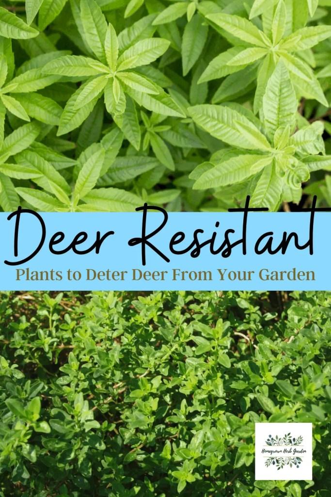 deter deer with herbs