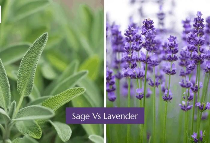 sage vs lavender