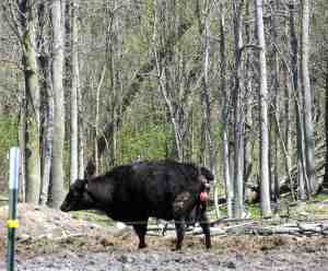 Black Angus Cow Early labor