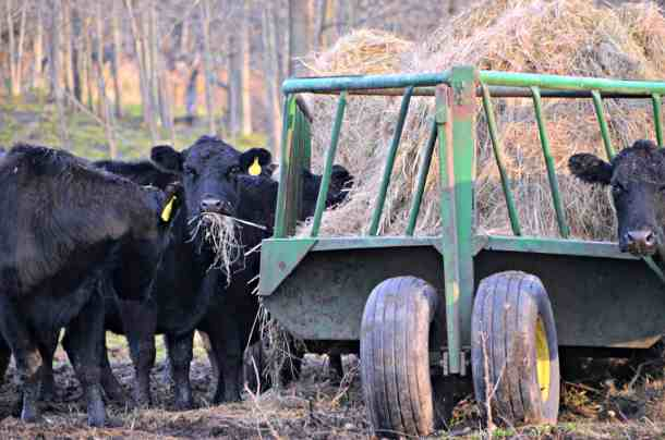 Black Angus Eating Hay in the Fall-Home in the Finger Lakes