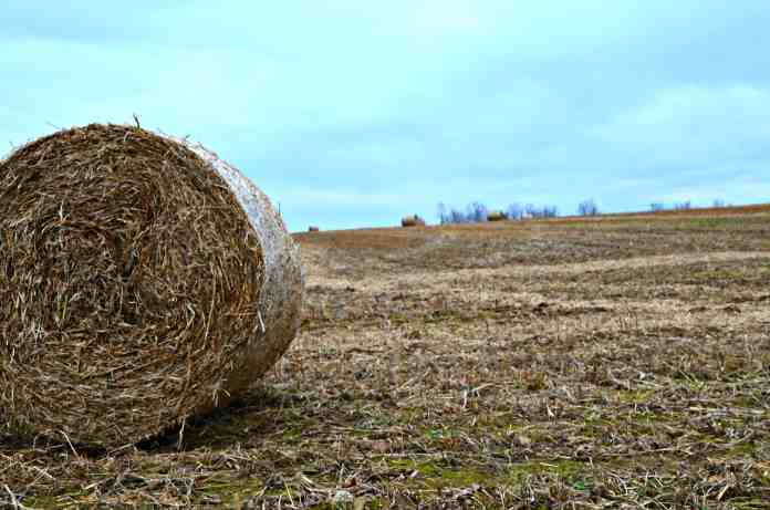 Round Soybean Stalk Bales- Home in the Finger Lakes