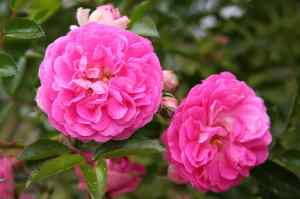 Dorothy Perkins Rose