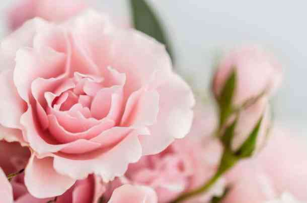 Soft pink roses.