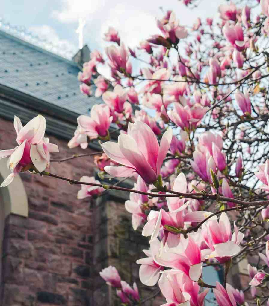 Pink Magnolia bloosoms on a branch in front on the cross of the Zion Episcopal Church in Palmyra