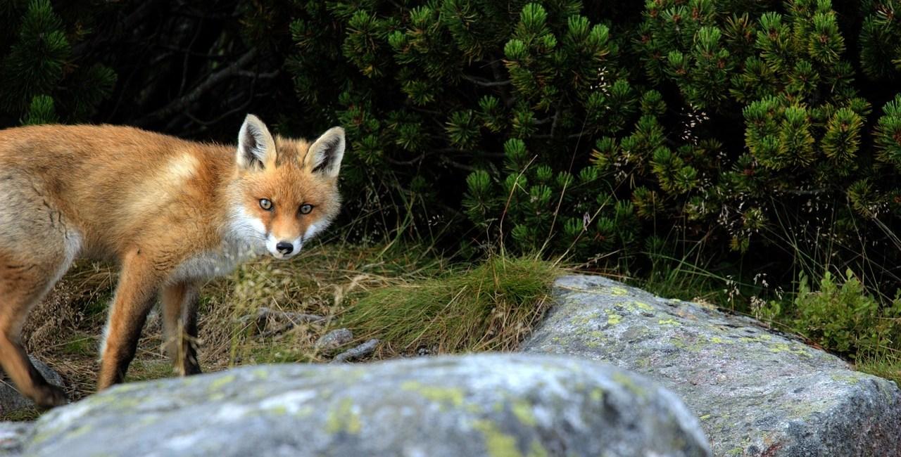 Slovakiet ræv fox nature