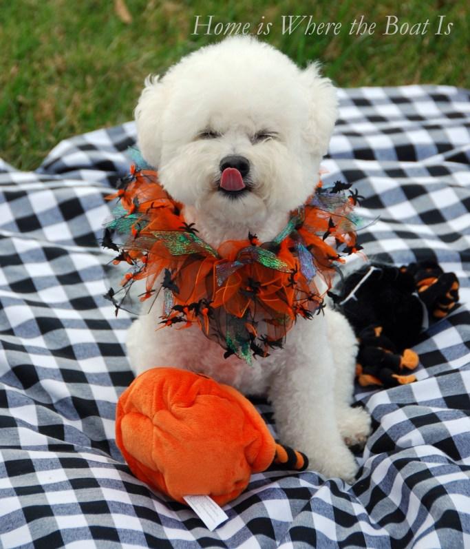 Chloe Halloween | ©homeiswheretheboatis.net #dogs #bichonfrise #nationaldogday