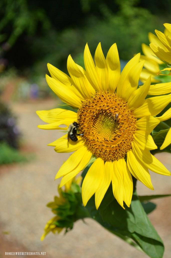 Bee on sunflower | ©homeiswheretheboatis.net #garden #flowers #bees #earthday