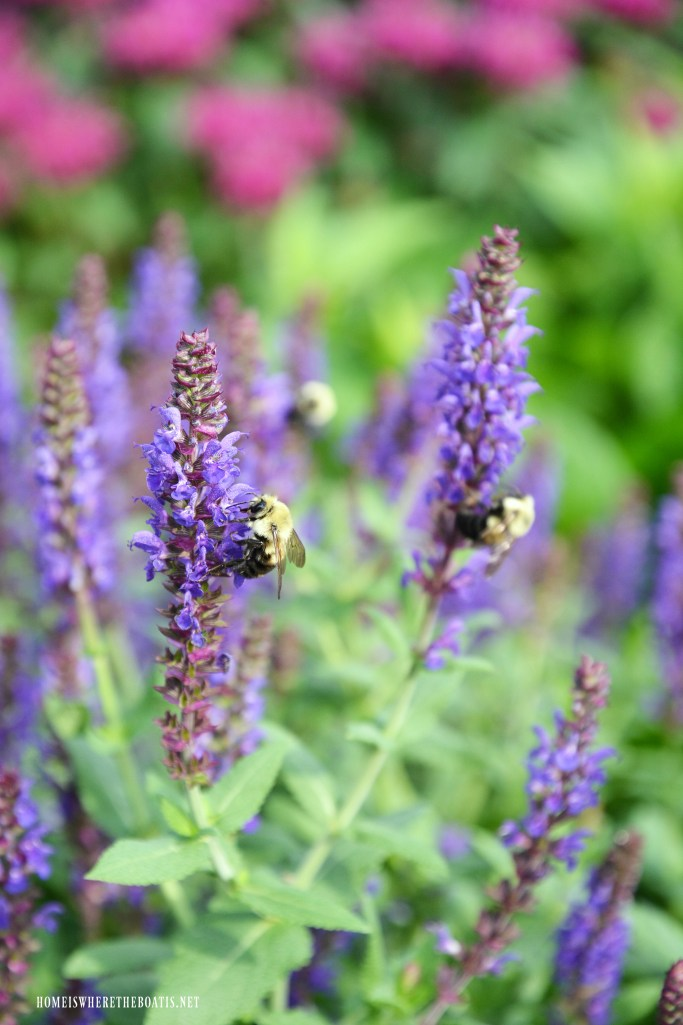 Bees on salvia | ©homeiswheretheboatis.net #bees #garden #flowers