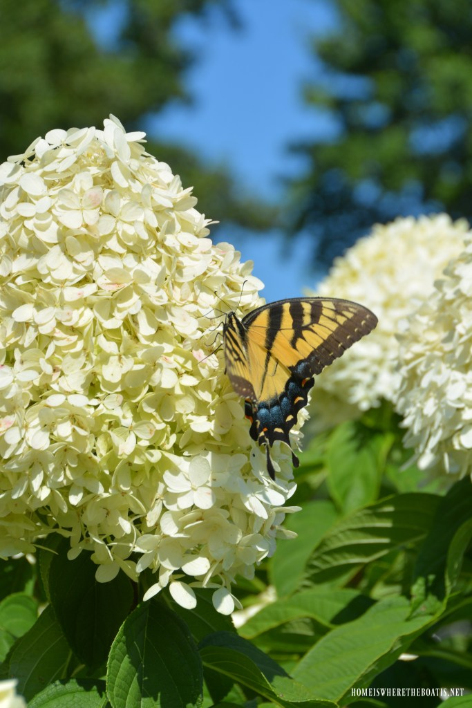 Swallowtail butterfly on hydrangea bloom | ©homeiswheretheboatis.net #garden #flowers #spring #hydrangeas