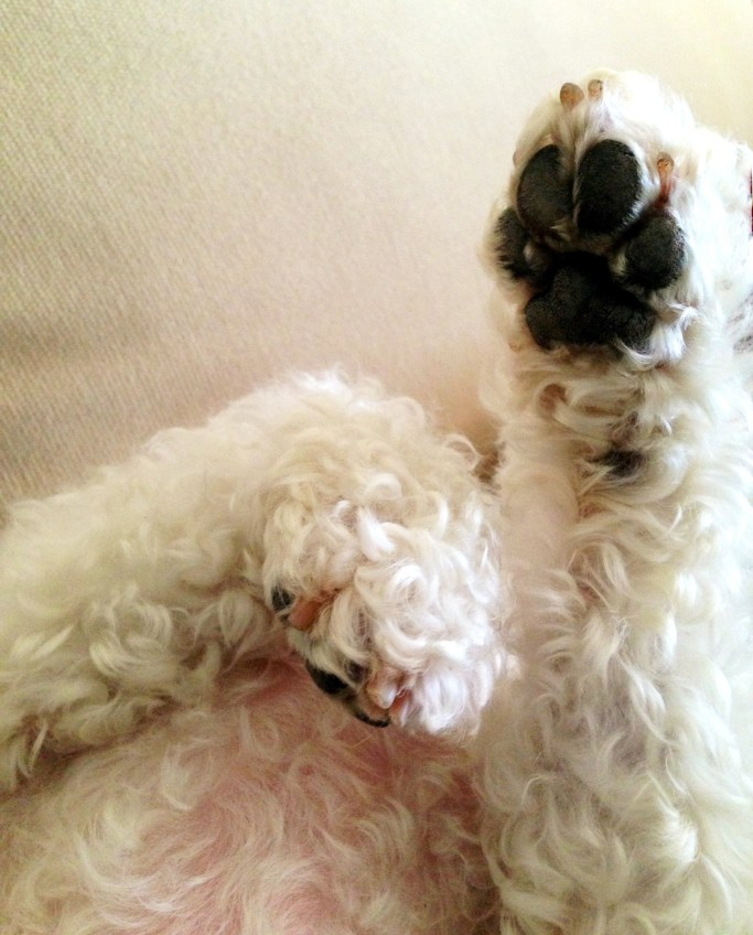 National Dog Day: 'Paws' for celebration | ©homeiswheretheboatis.net #dog #bichonfrise #nationaldogday