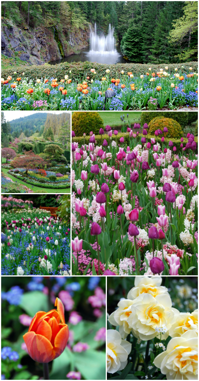 Spring in Bloom at The Butchart Gardens | ©homeiswheretheboatis.net #gardens #flowers #spring #tulips