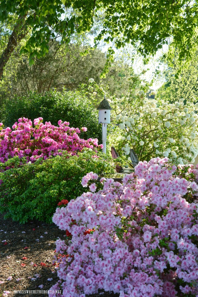 Azaleas and Viburnum in bloom | ©homeiswheretheboatis.net #garden #flowers #spring
