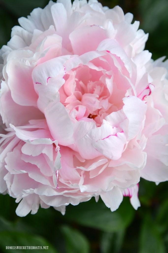 'Sarah Bernhardt' Peony | ©homeiswheretheboatis.net #garden #flowers #spring