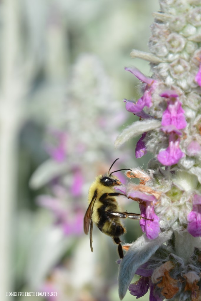 Bee on lamb's ear | ©homeiswheretheboatis.net #bees #garden #flowers
