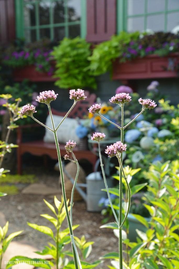 Plant Verbena Lollipop | ©homeiswheretheboatis.net #garden #flowers #spring