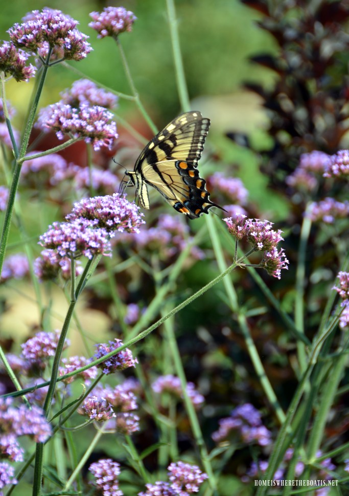 Verbena Lollipop and swallowtail butterfly | ©homeiswheretheboatis.net #flowers #garden #butterfly