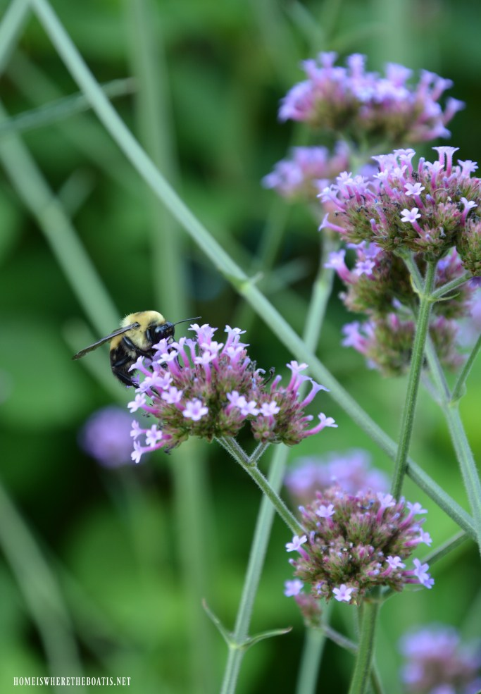 Bee on verbena lollipop | ©homeiswheretheboatis.net #bees #garden #flowers