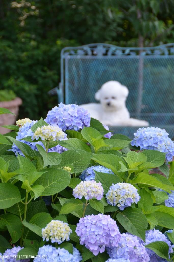 Endless Summer Hydrangeas and Lola | ©homeiswheretheboatis.net #flowers #garden #hydrangeas #dog #biconfrise