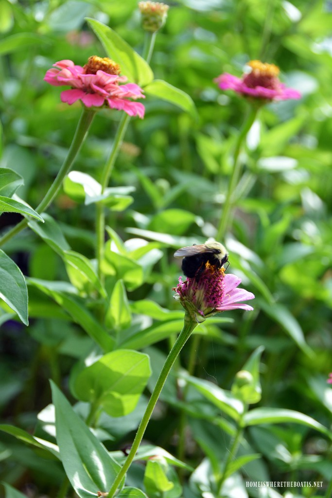 Bee on zinnia | ©homeiswheretheboatis.net #flowers #garden #DIY #tomatocage #hack