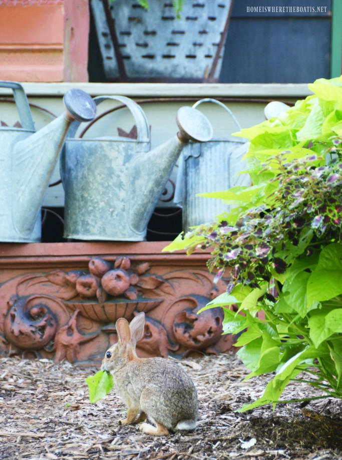 Bunny eating sweet potato vine in planter | ©homeiswheretheboatis.net #spring #rabbit #garden