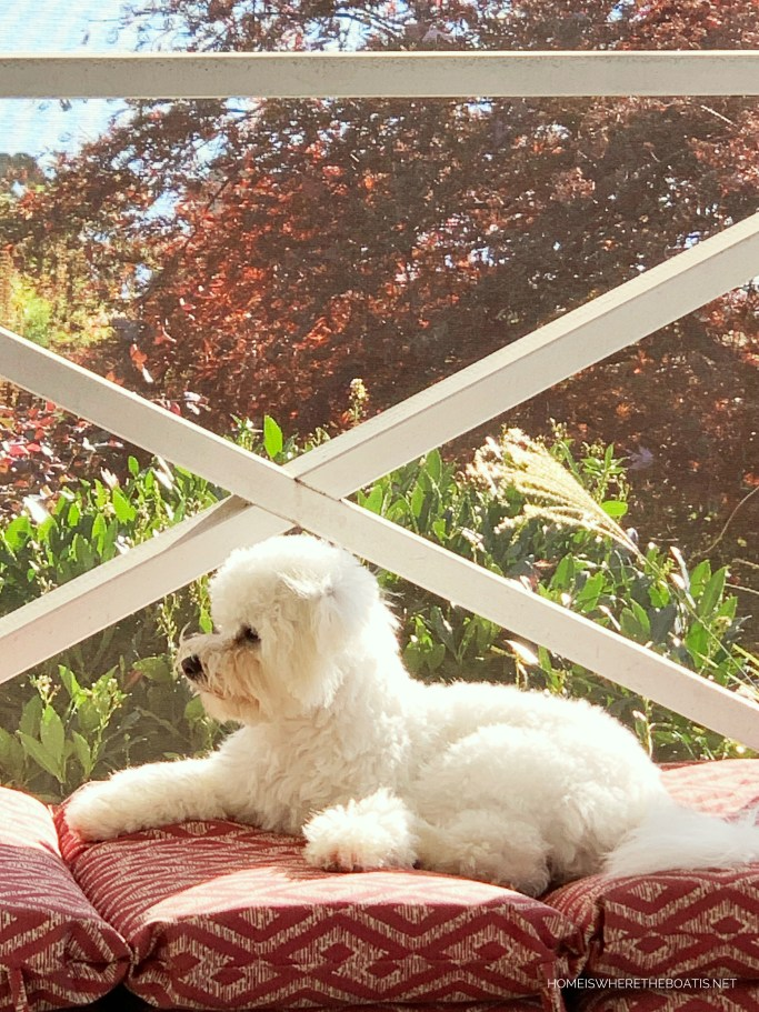 Sophie on porch | ©homeiswheretheboatis.net #bichonfrise #dogs