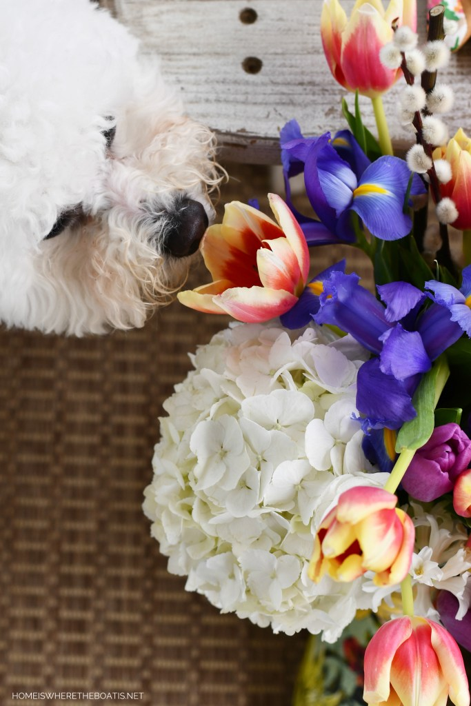 Sophie sniffing flowers | ©homeiswheretheboatis.net #flowers #dog #bichonfrise