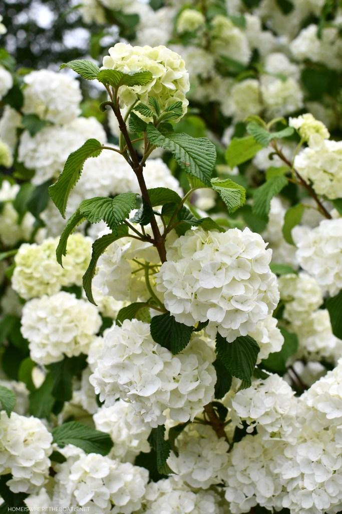 Snowball Viburnum blooms | ©homeiswheretheboatis.net #spring #garden