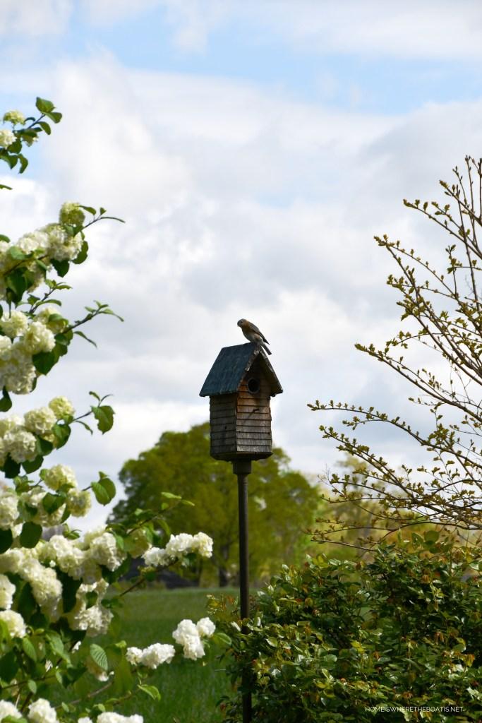 Bluebird | ©homeiswheretheboatis.net #flowers #spring #garden #blue