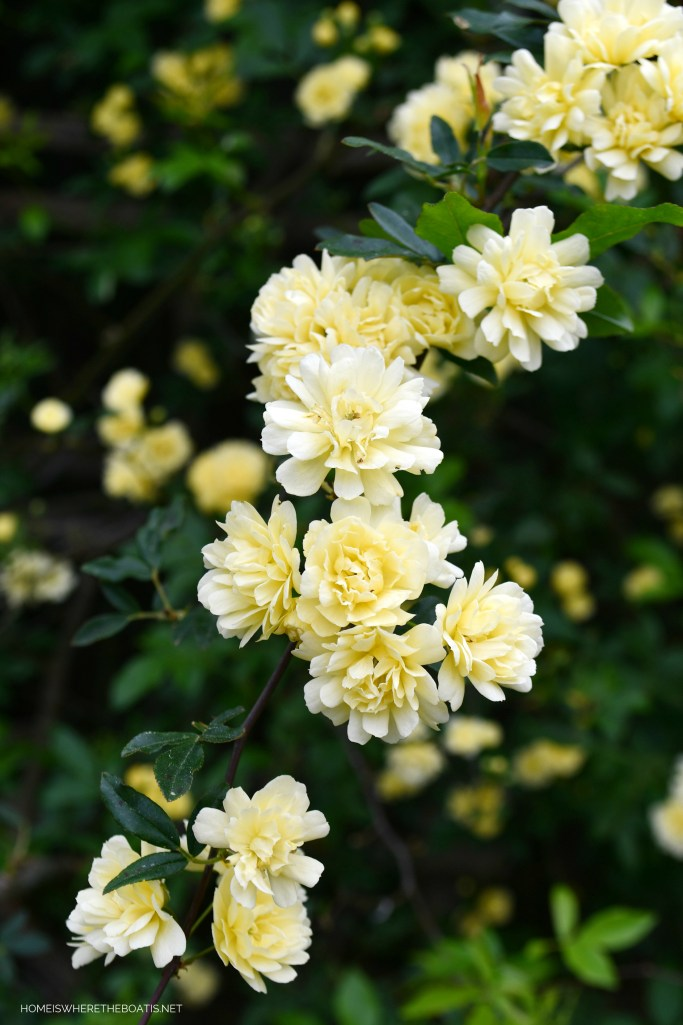 Lady Banks Rose | ©homeiswheretheboatis.net #spring #garden #flowers
